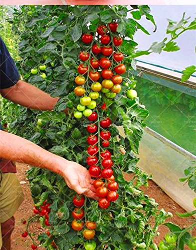 Amazon com: shopmeeko 200 Tomato Plant Rare Mini Climbing