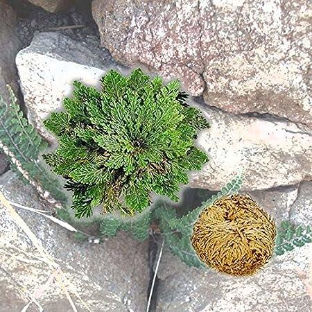 Resurrection Rose Of Jericho Live Magic Plant Dinosaur Air Fern Spikes Moss.