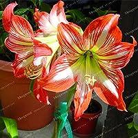 Bulbos verdaderos Amarilis (Hippeastrum No Seeds) Planta