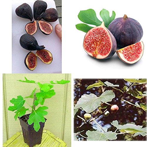 Hardy Chicago Edible Fig Plant Ficus Hardy 2.5
