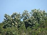 DRIMYS WINTERII CHILENSIS - PLANT - APPROX 4 INCH