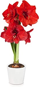 """Just Add Ice JAI356 Holiday Amaryllis Christmas Décor or Gift, Easy Care Live Plants, 5"""", Red, White Pot"""