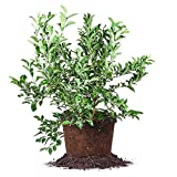 Premier Blueberry - Size: 1-2', Live Plant, Includes Special Blend Fertilizer & Planting Guide