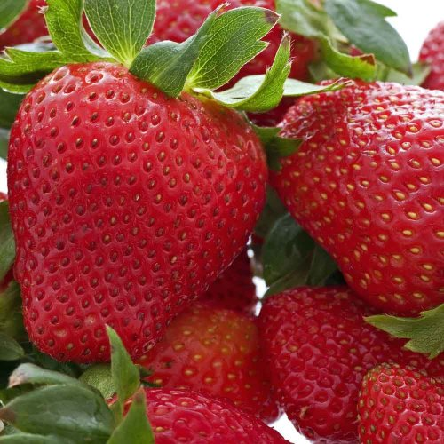 20 Honeoye Strawberry Fruit Plants - INCREDIBLY SWEET BERRY! - (20 Bare Root Plants for $18.95+6.99 shipping) Zone 3-8. Organic grown in USA.