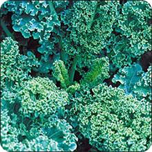 Curled Scotch (KALE , VATES BLUE CURLED SCOTCH KALE SEEDS, 50 SEEDS PER PACKAGE, ORGANIC , NON GMO, DELICIOUS IN)