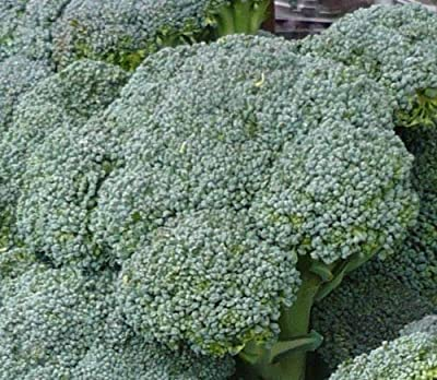 200+ Broccoli Seeds- Waltham Heirloom