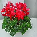 Cyclamen persicum Gaby F1 Flower Seeds indoor from Ukraine