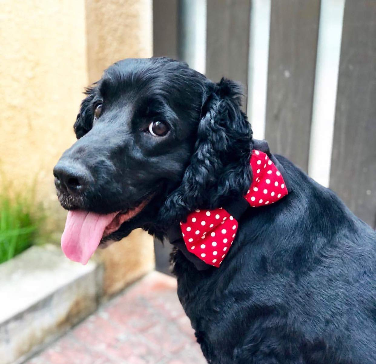 ea9f25903c3d That Dog In Tuxedo The Minnie Mouse Bow Tie Bowtie for Dog - (Red, Medium):  Amazon.in: Pet Supplies