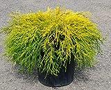 gold thread cypress Gold Mop Cypress - Dwarf Golden Evergreen Shrub - 3 Gallon Size