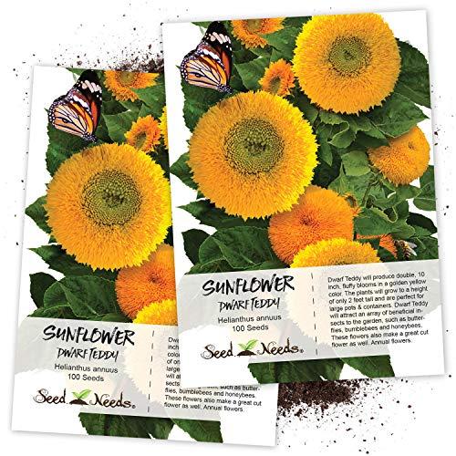 Dwarf Teddy Bear - Seed Needs, Dwarf Teddy Sunflower (Helianthus annuus) Twin Pack of 100 Seeds Each