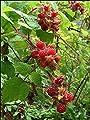 "Vine RASPBERRY-Red ~ Japanese Wineberry~ ""Rubus Phoenicolasius"" 20+ Perennial Fruit Seeds"