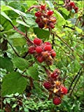 "Vine RASPBERRY-Red  ~ Japanese Wineberry~  ""Rubus Phoenicolasius"" 20+ Perennial Fruit Seeds"