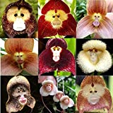 ASTONISH Seeds Package: 10Pcs Rare Monkey Face Orchid Seeds Dracula Cute Simia Flower Garden Plant Seed