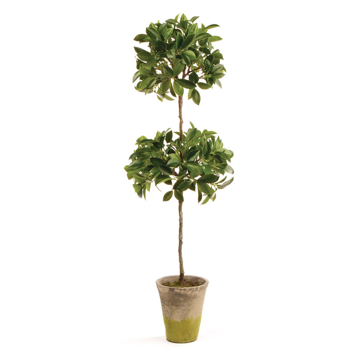 Conservatory Ficus Topiary in Pot