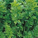 Herb Seeds - Lovage - 120 Seeds