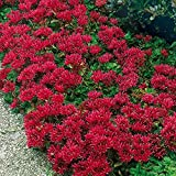 Raflesa Sedum Spurium 'Summer Glory',Succulent Ground-Cover ! Perennial Stone-Crop !(2000 Seeds)