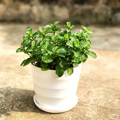 Jazmy 500PCS Plant Mint Seed Mint Aromatic Natural Green Spice Balcony Potted Flower Series : Garden & Outdoor
