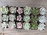 CAL Farms 2'' Beautiful Rosettes Succulents Weddings or Party Favors or Succulent Gardens (36)