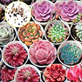 GerdenLove : Pack of 100 Succulents Seeds All Succulent Rare Mixed Potted Flower Organic Seeds