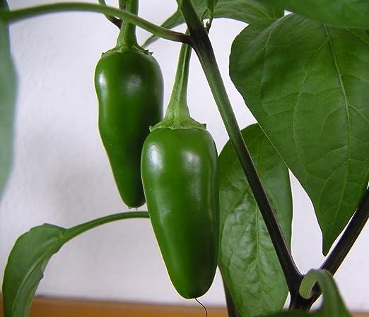Gourmet Chilli Pepper 6 Seeds Gourmet Jalapeno