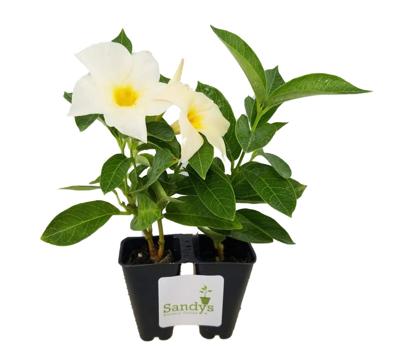 Sandys Nursery Online Mandevilla Apricot ~Lot of 2 ~ Starter Plants by Sandys Nursery Online (Image #4)