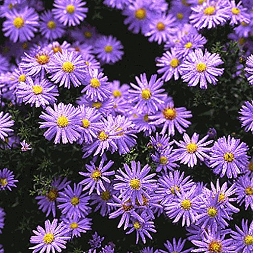 Everwilde Farms - 2000 Prairie Aster Native Wildflower Seeds - Gold Vault Jumbo Seed Packet