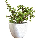 The Bonsai Plants Good Luck Jade Plant with Pot indoor Plant