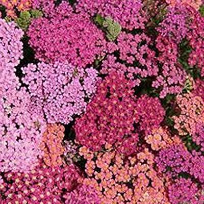 Hot - Yarrow Flowerburst Red Shades 10 Seeds Perennial Herb. Deer Resistant! - Everlasting - Great for Drying!!.Achillea Millefolium : Garden & Outdoor