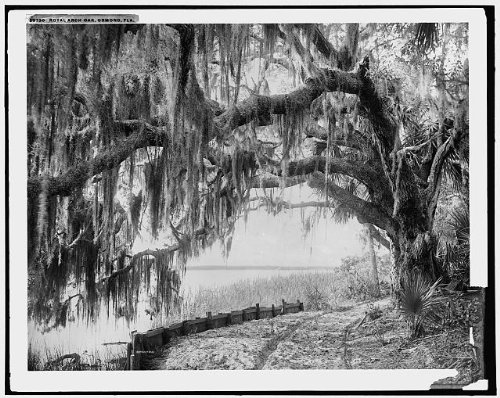HistoricalFindings Photo: Royal arch oak,Spanish moss,trees,Ormond Beach,Florida,Detroit Publishing,c1898 - Oak Tree Arch