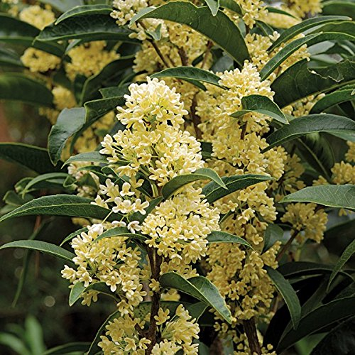New Life Nursery & Garden / - Fudingzhu Fragrant Tea Olive (osmanthus) / - Quart Pot