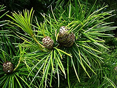 Koyamaki Japanese Umbrella Pine - Sciadopitys verticillata - Quart Pot