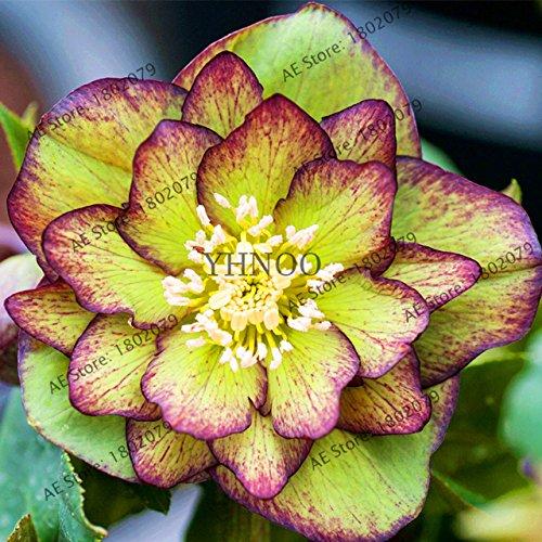 Novelty Plant,Hellebore (Christmas Rose)Helleborus niger flower seed,bonsai flower plant forr home courtyard (Hellebore Plant)
