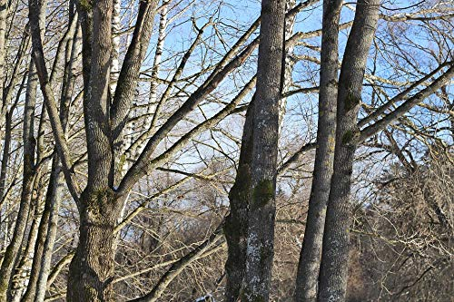 Basswood Trunk - Home Comforts Canvas Print Forest Trees No One Blue Basswood Trunk Sky Vivid Imagery Stretched Canvas 32 x 24