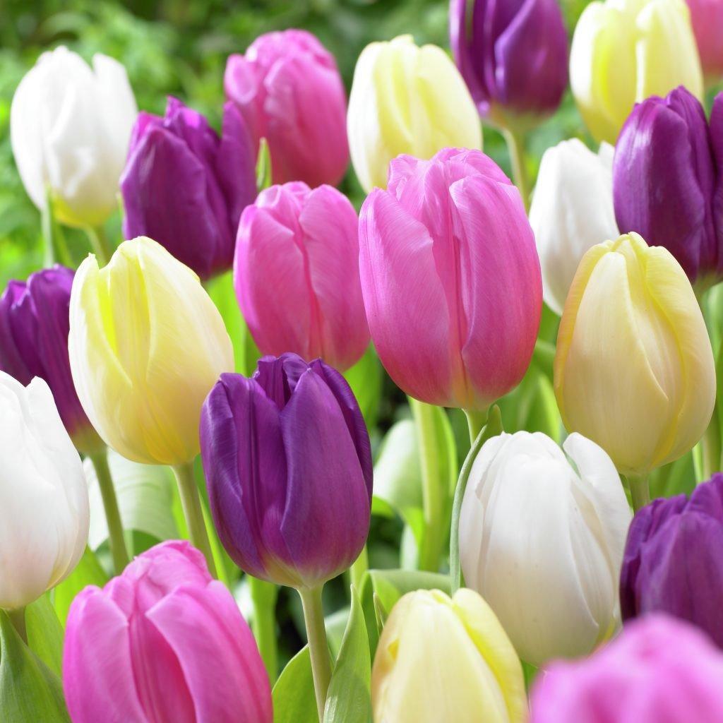 Van Zyverden Tulips Easter Basket Mixture Set of 15 bulbs by VAN ZYVERDEN