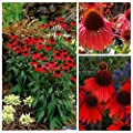 Seeds Market Rare Beautiful Gardens 100 Firebird Coneflower Seeds Planting Strong surrounded by blooming