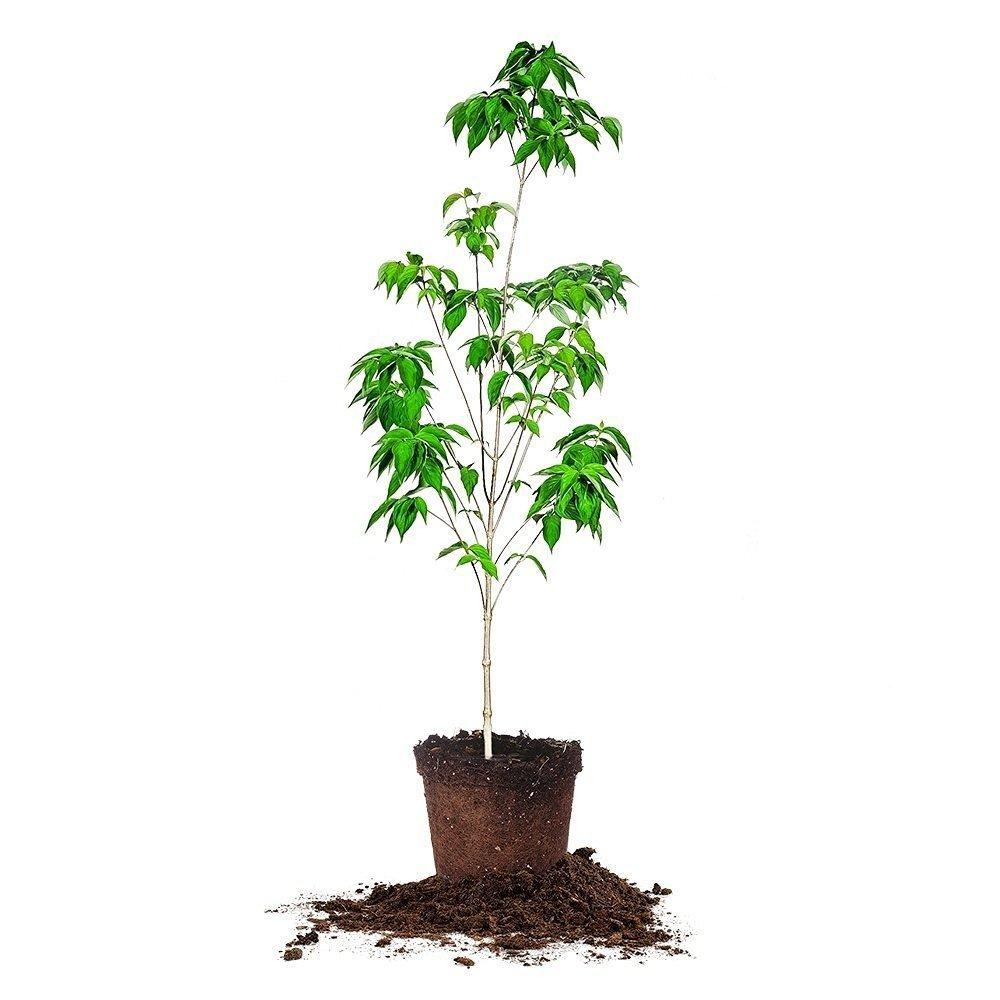WHITE DOGWOOD - Size: 4-5', live plant, includes special blend fertilizer & planting guide