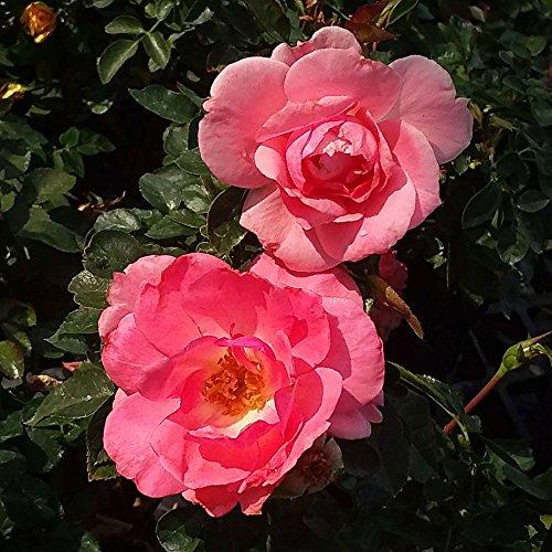 Passionate Kisses Rose Bush Reblooming Salmon Floribunda Rose Grown Organic 4