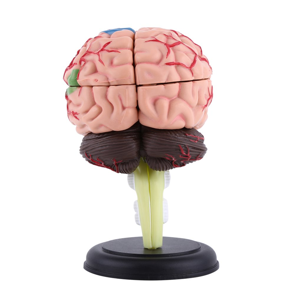 4D Modelo de Cerebro Desmontable Modelo de Anatomía para Enseñanza y ...