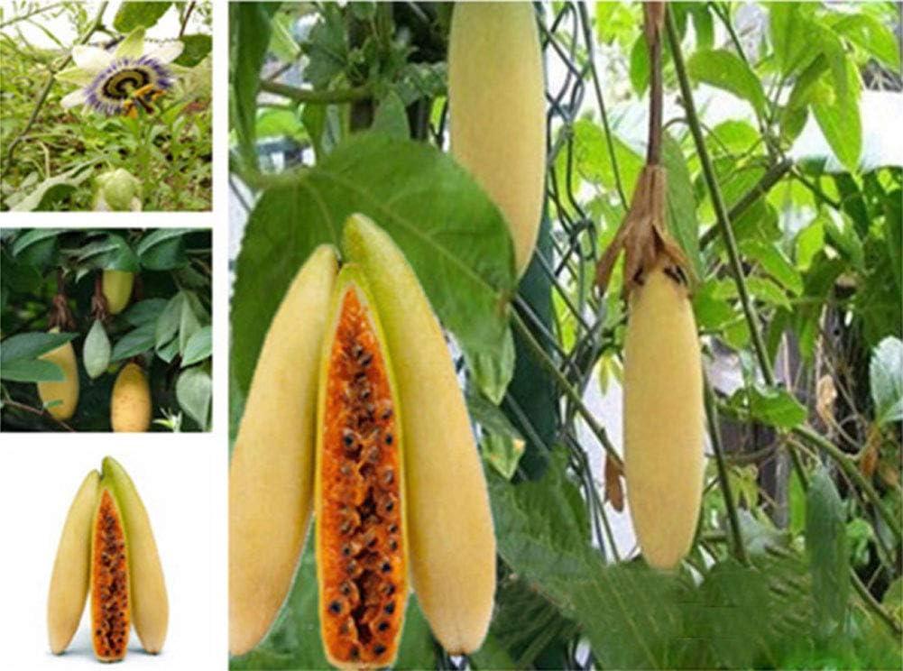 10/20pcs Semillas de Frutal Exóticas Raras Ecologicas, Semillas de Banana Passion Fruit Curuba Plátano de la Pasión Passiflora para Huerto, Granja, Jardin (10)