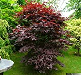 Bloodgood Upright Red Japanese Maple Tree - Live Plant - Quart Pot