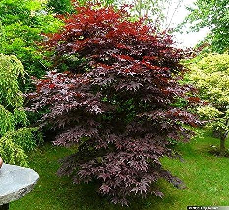 Amazoncom Bloodgood Upright Red Japanese Maple Tree Live Plant