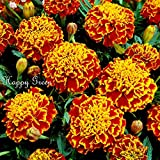 HOT - Marigold - Honeycomb - 350 Seeds - Tagetes patula Nana -Double Bicolor Flower