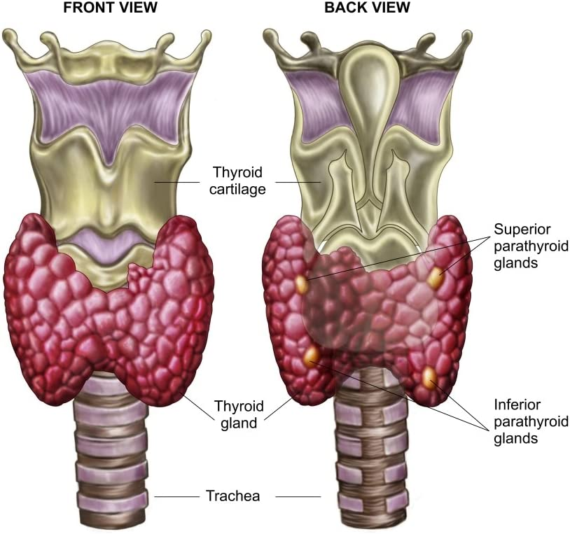 Amazon Com Posterazzi Pststk700237hlarge Anatomy Of Thyroid Gland
