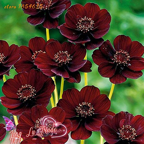 200pcs/bag Rare Chocolate Cosmos Flower Seeds-blooms All Summer Long And Has Rich Scent Like Chocolate Diy Home Garden Flower