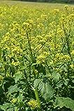 100 Seeds of Mustard White / Sinapis alba