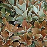 Kalanchoe Orgyalis – Succulent Plant - Copper Spoons Live Plant
