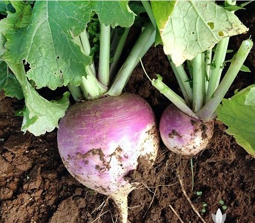 200-organically-grown-american-purple-top-rutabaga-turnip-seed-heirloom-non-gmo-brassica-napus-var-n