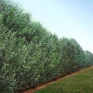 1 Starter Plant of 6-7ft Willow Hybrid Tree