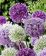 Semi d'aglio gigante (Allium giganteum), misto viola e bianco, 60 semi, pianta decorativa resistente all'inverno