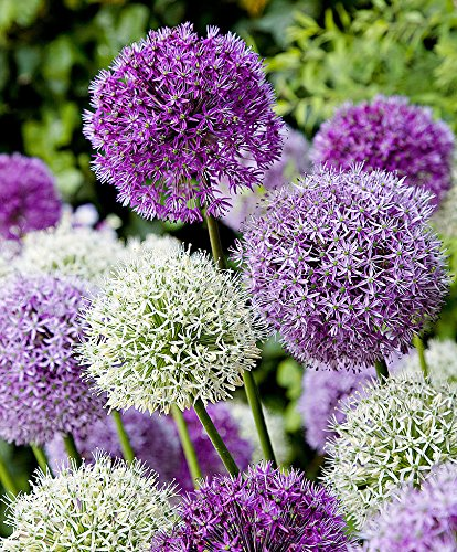 (Giant Allium- Allium Duet Mix, (10 Bulbs) Purple Sensation and Mount everret Giant Blooms with Delicate)